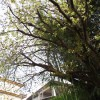 九度山の御衣黄桜(ぎょいこう)