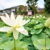 舞妃蓮の郷はす公園(ハスの花)