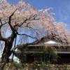 野長瀬家の枝垂桜
