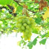 サンシャイン牧場果樹園