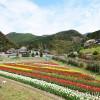 チューリップ畑(広川町下津木)