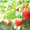 よしむら苺ファーム 吉村農園